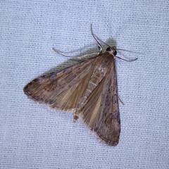 Lucerne Moth (Dendroica cerulea) Tags: summer newjersey moth nj insects lepidoptera blacklight pyraustinae highlandpark arthropoda invertebrate insecta middlesexcounty crambidae mothlight spilomelini lucernemoth nomophilanearctica pyraloidea