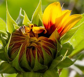Sich öffnende Sonnenblume