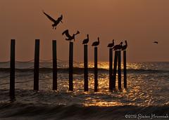 Pelican Pilings (GAPHIKER) Tags: horse fence northcarolina pelican pilings outerbanks corolla mygearandme mygearandmepremium mygearandmebronze mygearandmesilver mygearandmegold mygearandmeplatinum mygearandmediamond