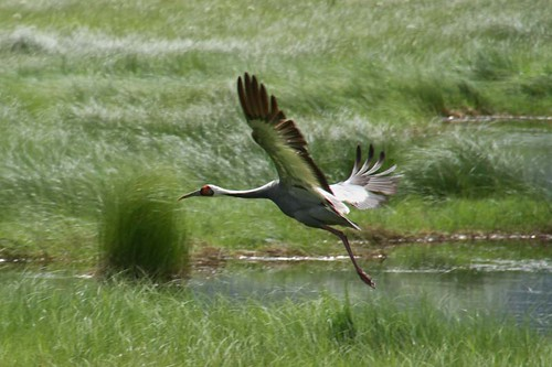White-naped Crane /Grus vipio/ & Цэн тогоруу /