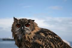 IMG_2403 (Samuel Thomas Taylor) Tags: birds wales eagle hawk united kingdom owl prey llandudno harrier