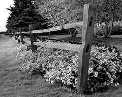 Fenceline (Theresa*) Tags: flowers summer blackandwhite bw fence illinois geneva country genevaillinois illinoisflickrjournal flickrnature beautifulcapture loverofnature enjoyillinois natureandlandscapes peckfarm natureanythinggoes keleka nikond7000 adayinthelifeofours