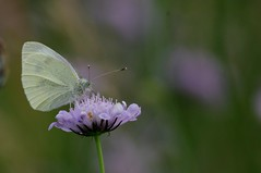 IMGP6067 Small White, Devil's Dyke (Burwell, Cambs), July 2016 (bobchappell55) Tags: insect butterfly devilsdyke cambridgeshire grassland small white
