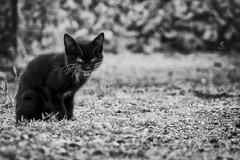 Un gattino (Eugenio_81) Tags: blackandwhite animal kitty animali biancoenero monocromo cat lazio collesanmagno gatto cantalupo gattino gattonero felino felis feliscatus glance sguardo bokeh blackwhite