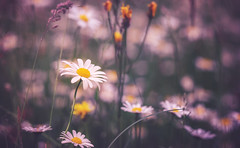 dont cry (Das StadtKind - on vacancy for 1 week) Tags: flowers fleur flores blumen blten petals flower sonyilce7 sonya7 sony a7 bokeh bokehlicious dof depthoffield stadtkind bavarai kempten germany europe new flickr popular mostinteresting