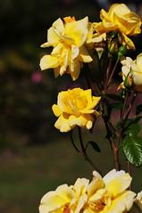 DSC_5567 (PeaTJay) Tags: nikond300s sigma reading lowerearley berkshire macro micro closeups gardens outdoors nature flora fauna plants flowers rose roses rosebuds
