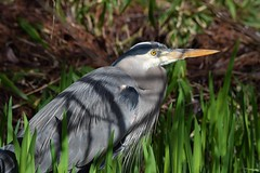 Great Blue Heron (careth@2012) Tags: heron greatblueheron wildlife nature beak feathers portrait