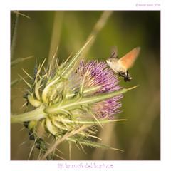 El bruch del borinot (Ferranet) Tags: canon 60d tamron18270 naturaleza natura nature flor flower insecte insecto catalunya montseny santafedelmontseny bokeh