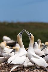 """""""Bisous"""" Fou de Bassan / Northern gannet (pascaleforest) Tags: bonaventureisland foudebassan northerngannet bisous kisses oiseau bird passion gaspsie rve dream ilebonaventure"""