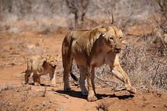 Follow the leader (crafty1tutu (Ann)) Tags: travel holiday 2016 southafrica africa animal lion wild free inthewild roamingfree krugernationalpark crafty1tutu canon7dmkii carnivore mother baby motherandbaby lioness cub anncameron naturethroughthelens naturescarousel