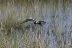Whiskered Tern - Lake Skadar - 20160610 (mwiddo) Tags: monenegro birds whiskered tern lake skadar