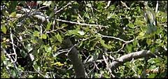 IMG_1366-cropbeete1016 (ryancarter2012) Tags: bee eaters birds cala galdana menorca aug 2016