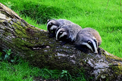 Badgers (Terry Angus) Tags: badgers meles mele