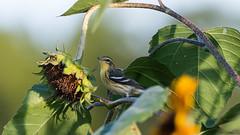 Autumn Arrives..... (Bonnie Ott) Tags: blackburnianwarbler bird sunflower warbler