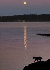 Spaniel Silhouette (Jacob-Reef) Tags: shawisland lopez island san juan islands ocean puget sound summer full moon tide placid smooth water silhouette