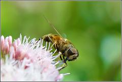 Zweefvlieg (pietplaat) Tags: pietplaat insect macro zweefvlieg