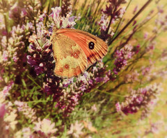 Love Lavender (Missy Jussy) Tags: lavender flower flora fauna france southwestfrance butterfly plant vintage gardens labrugere canon canonpowershotsx60 wildlife