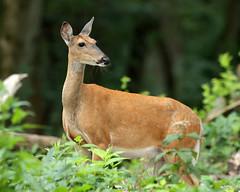 Mom (ibm4381) Tags: owen park madison whitetail deer