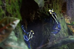 IMGP7183-xn-Z-RE-B (PURpics) Tags: blue frog san diego zoo vacation swim