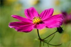 cosmea..........one of my favorite flowers (atsjebosma) Tags: cosmea flower bloem macro colorful kleurrijk sunny sun zon zonnig zonlicht atsjebosma bokeh birthday augustus 2016 coth5 ngc npc