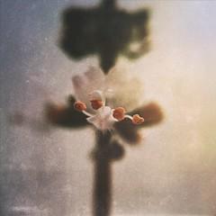 Manjerico (rvcroffi) Tags: basil olloclip natureza close nature mextures whiteflower florbranca flower flor manjerico macro