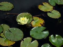 Water lily and frog (mkk707) Tags: fujifilm finepix f31fd superccd botany funchal madeira pointshoot palheiro atlantic