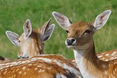 Fallow Deer 170816 (2) (Richard Collier - Wildlife and Travel Photography) Tags: wildlife naturalhistory british deer fallowdeer mammals