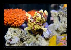 MAR03antennarius7333 (kactusficus) Tags: marineland aquarium tropical public antennarius pictus frogfish antennaire