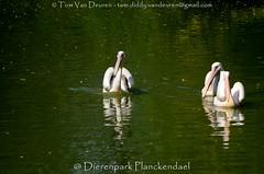 roze pelikaan - Pelecanus onocrotalus - Great White Pelican (MrTDiddy) Tags: roze pelikaan pelecanus onocrotalus great white pelican vogel bird dierenparkplanckendael dierenpark planckendael mechelen muizen