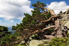 Ceder (Agustina Santervás) Tags: agustina ceder árbol sierra sietepicos