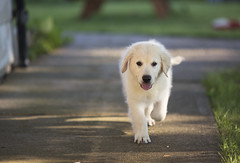 Hank2 (TaylorB90) Tags: taylor bennett taylorbennett canon 5d 5d3 7020028isii 70200 28 is ii 135l 135mm sharp golden retriever puppy goldenretriever goldenretrieverpuppy hank hoyt play cute animals puppies dogs farm