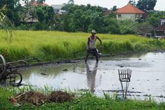 Man working on the rice fields, Canggu, Bali, Indonesia (Niek van Son) Tags: ricefields farmer canggu bali indonesia
