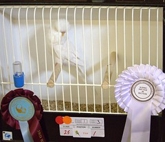 BOC Albino 25-1 I Fordham (Brother G) Tags: hastings budgerigar society open show 2016