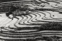 Rice harvest with horse (tmeallen) Tags: riceterraces paddies harvest horse ricestubble blackandwhite scurves shed textures noilungsun sapa laocai borderregions hills northvietnam culture travel