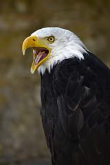Weikopfseeadler / bald eagle (377) (Jrg Arlandt) Tags: 70300mm adler d610 nikon tiere tierfoto tierportrait urlaub2016 vogel weiskopfseeadler