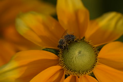 Flower (Aperture111-Thanks for 1000000+ views) Tags: bee flower macro nature sigma105mm