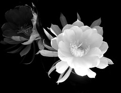 DSC_4318 (tintyper) Tags: flower bloom night nightblooming cereus bw