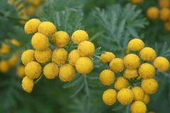 Yellow Balls (ianharrywebb) Tags: edinburgh iansdigitalphotos royalbotanicgardens flowers flower