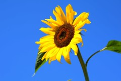 A look to the sky (only_sepp) Tags: giallo petali cielo azzurro isola semi di girasole sunflower elba estate colore colori accesi summer flora allnaturesparadise