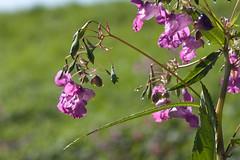 ckuchem-7988 (christine_kuchem) Tags: bach blte springkraut ufer wildpflanze drsiges gewsser nichtheimisch rosa
