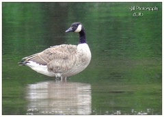 Canadian goose (shillphotography001) Tags: goose gander canadian canada water reflection bird