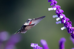 Anna's with a Touch of Pink (Patricia Ware) Tags: annashummingbird birdsinflight california calypteanna canon ef400mmf56lusm mexicanbushsage palosverdespeninsula salvialeucantha ©2016patriciawareallrightsreserved rollinghillsestates unitedstates us specanimal