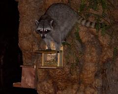 Raccoon raiding the squirrel feeder at night. He broke it... (suzeesusie) Tags: raccoon animal wild wildlife night nocturnal hungry maskedbandit tree outdoors nature furry teeth california losangeles