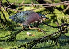Green Heron (b88harris) Tags: green heron maroon yellow light sunlight exposure eye blue grey bird nature natural swamp duckweed nikon d7200 nikkor 300mm lens wildwood lake harrisburg pennsylvania park ngc