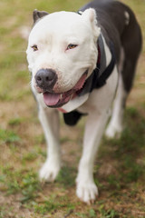 Swizzy (Toki.Photos) Tags: dog dogs puppy puppies puppys color canon canons portrait animal animals photography pitbull mix mutt mixes mutts outdoor people pet depth field