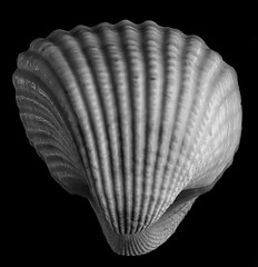 Reflecting On A Scallop Shell In Black And White (Bill Gracey) Tags: seashell seaofcortez bajacalifornia scallop scallopshell shapes textures sidelighting softbox mirror reflection shades shadowshapes tones silverefexpro noiretblanc blancoynegro blackandwhite blackbackground offcameraflash yn560iii yongnuorf603n homestudio tabletopphotography