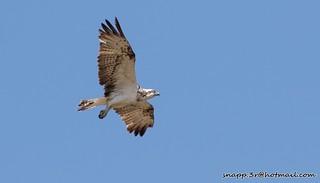Osprey s'alburfera