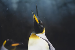 Kaiyukan, Osaka (Bunaro) Tags: kaiyukan penguin majestic osaka japan kansai aquarium zoo animal water snow canon 70200