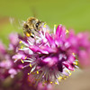 Bee Macro #2 (Tanya Puntti (SLR Photography Guide)) Tags: beemacro