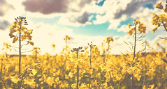 vintage rapeseed (V a s s) Tags: uk blue england sky nature field yellow clouds spring farmers harvest hampshire april a3 rapeseed vass